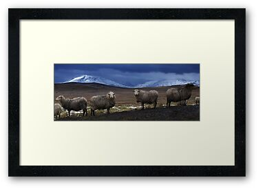 Sheep at Llyn Aled by Julian MacDonald