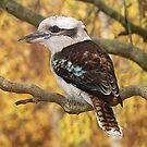 Kookaburra#3 by johnrf