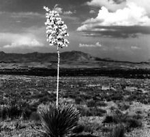 Lone Cactus by Harlan Mayor