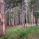 Beautiful cluster of Karri Trees by georgieboy98