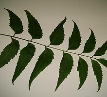 Neem Leaves by Gowar