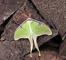 Luna Moth revisted by Jamaboop