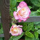 Through the fence .. roses by LoneAngel