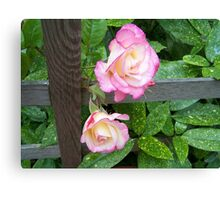 Through the fence .. roses Canvas Print