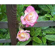 Through the fence .. roses Photographic Print