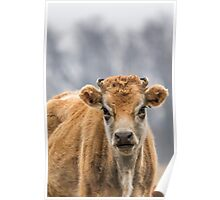 Cow 1 Poster