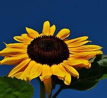 Sunflower by Nancy Lyall