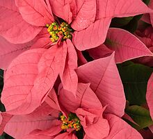 Christmas Greetings with a Vivacious Pink Poinsettia - a Vertical View by Georgia Mizuleva