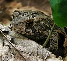 American Toad (bufo americanus)  by William Tanneberger