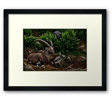 Ibex on Hill  Framed Print