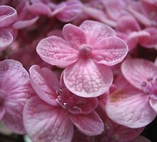 Pink Blossoms by seelisk