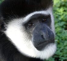 Eastern Black and White Colobus Monkey by Sheila Smith