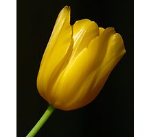 Yellow Tulip with Green Stem Photographic Print