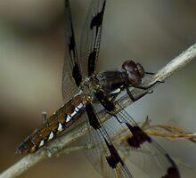 Dragonfly by BLaskowsky