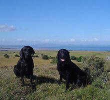 Two Labradors by unique