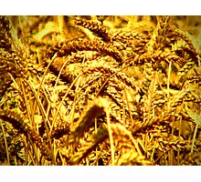 Barley Photographic Print