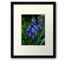 Muscari after the Rain Framed Print