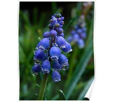 Muscari after the Rain Poster