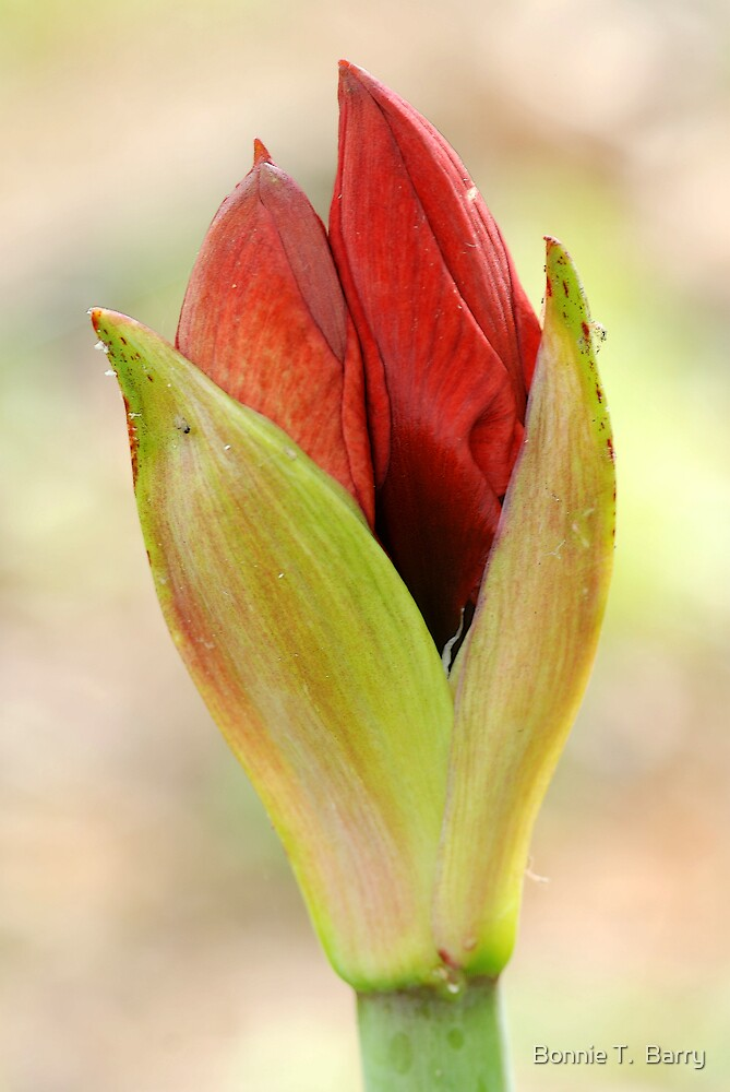 Tootsie's Amaryllis by Bonnie T.  Barry