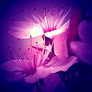 cherry bluesome ... by SNAPPYDAVE