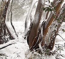 SNOWgums by jayview