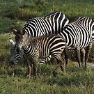 Zebra's in Africa 2014 by maureenclark