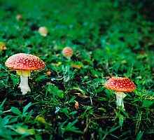 Fairy Mushrooms by Richard  Willett