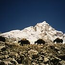 Yaks and Everest Nepal by Caren della Cioppa