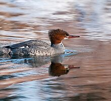 Common Merganser by Michael Cummings
