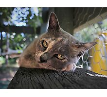 Bella the burmese beauty Photographic Print