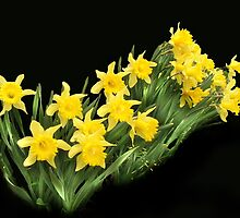 More yellow daffodills by Corinne Noon