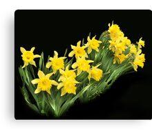 More yellow daffodills Canvas Print