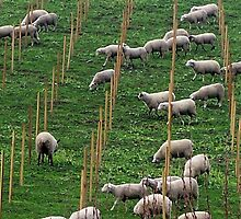 Sheep in the new vineyard by Carrie Norberg