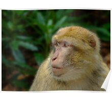 Barbary Macaque Poster