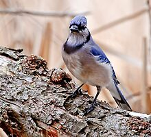 Blue Jay on Log - Ottawa, Ontario by Michael Cummings