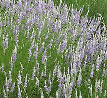 Lavender 4 by Carrie Norberg