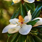 Southern Magnolia Blossom by Kathy Baccari