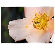 Cucumber Beetle on Rose Poster