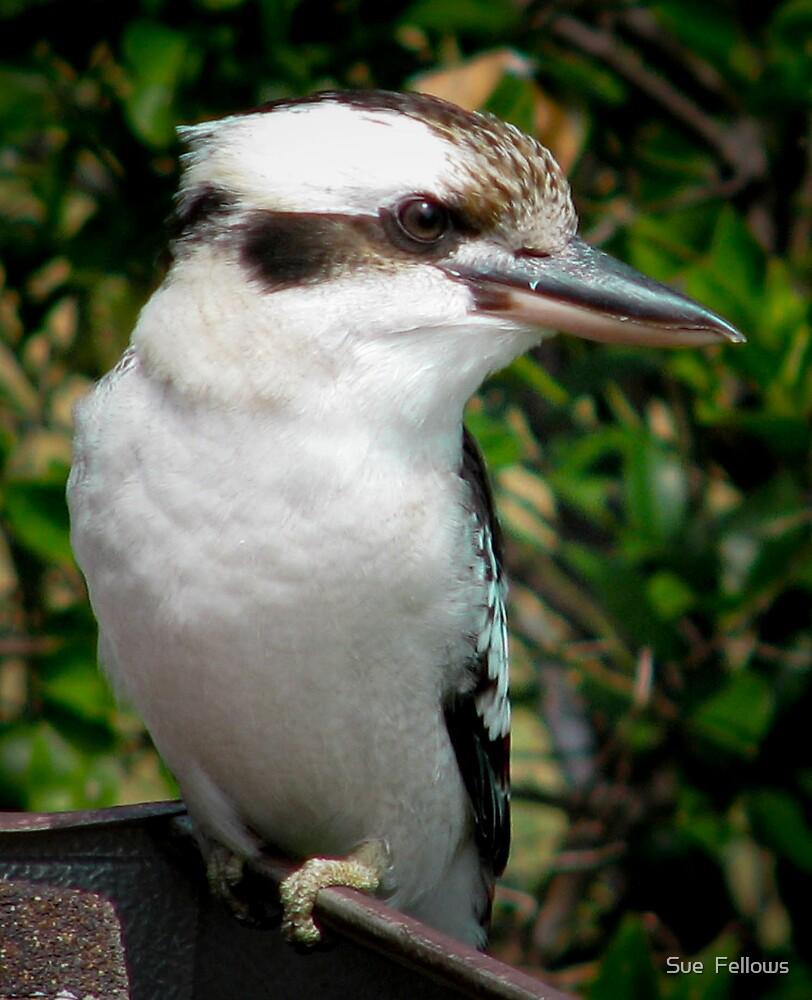 Kookaburra on my Roof by Sue  Fellows