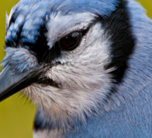 Blue Jay Portrait Sticker