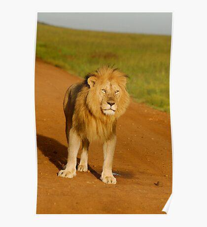 lion curiosity Poster