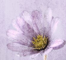 Shades of Lilac by John Edwards