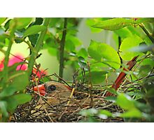 Mrs. Redbird on the Nest Photographic Print