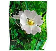 Burnet Rose, (Rosa pimpinellifolia) Poster