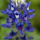 Blue Bonnet by Kasey Lilly