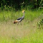 Gray crowned crane by clement