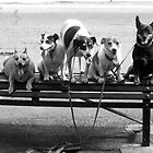 Dogs on a bench by paulhosk