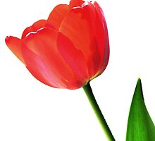 One Red Tulip by AngieDavies