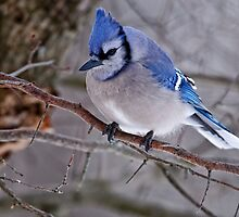 Blue Jay in Tree - Ottawa, Ontario by Michael Cummings