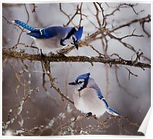 Blue Jays - Shirley's Bay, Ottawa Poster